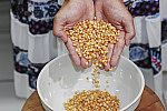 Grãos de milho para pipoca.