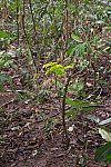 Muda de árvore