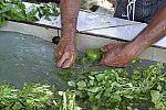 Higiene de vegetais