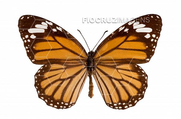 Borboleta monarca